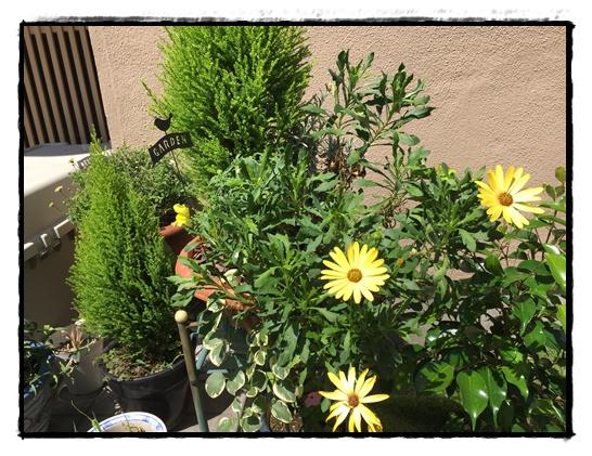 秋冬の寄せ植えの仕立て直し後1か月後の様子