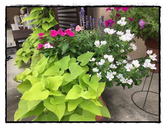 8月末の夏の寄せ植えの様子。適宜、切り戻しています。