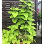 「テラスライム」の育て方!素敵なツル性植物の世界