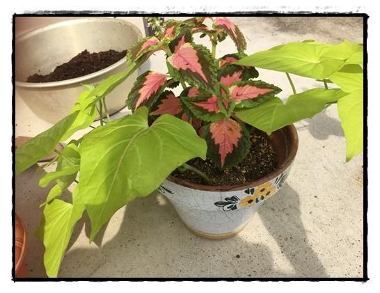 挿し芽から2週間後のテラスライムとコリウス