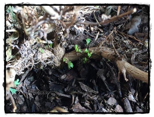 根元に新芽が出ています。捨てないで~!