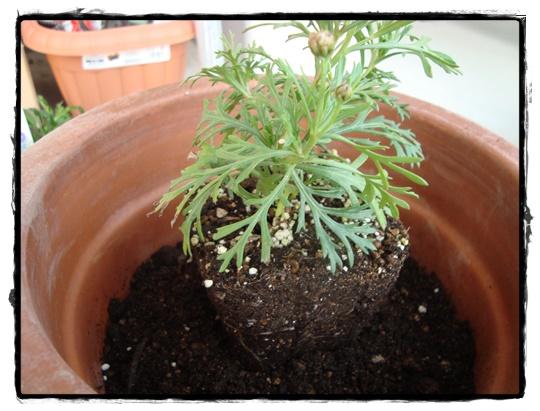根鉢は崩さずに植え付けする