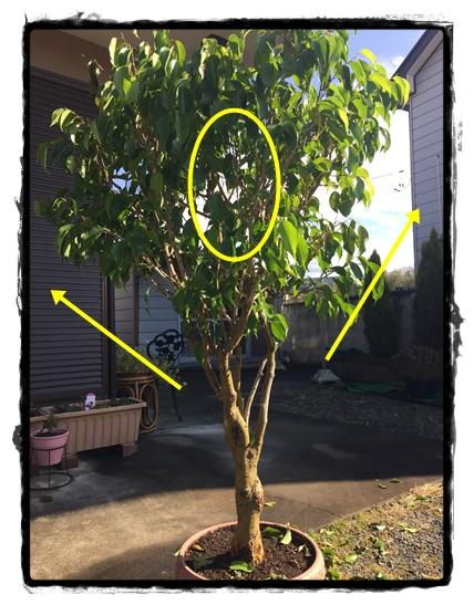 枝は外に向かって広がり真ん中が空洞になっています。