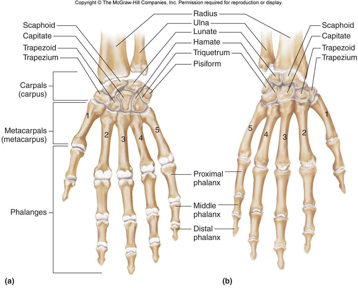 Carpals Amp Hand