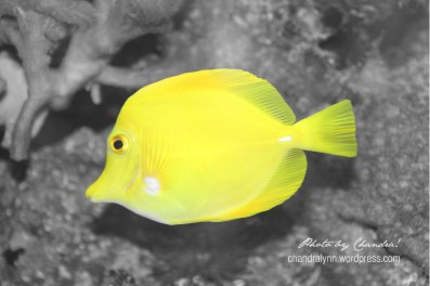 """Yellow Tang,"" Original Photo 2013"