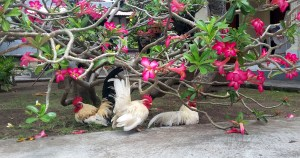 Chickens and pink flowers