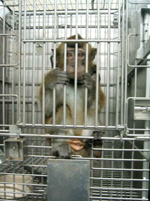 cyno monkey in a cage