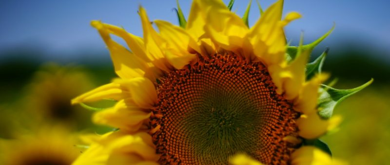 partial photo of sunflower and part of blue sky
