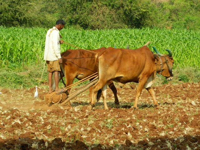 Man driving two cattle with plow attached to prepare for seeds