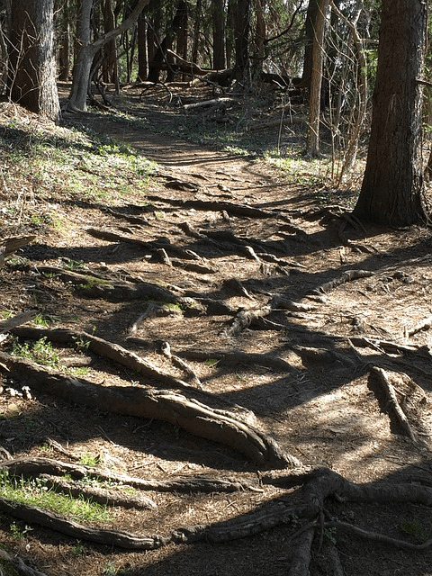 a daylight path in the woods strewn with many surface roots complicating the path