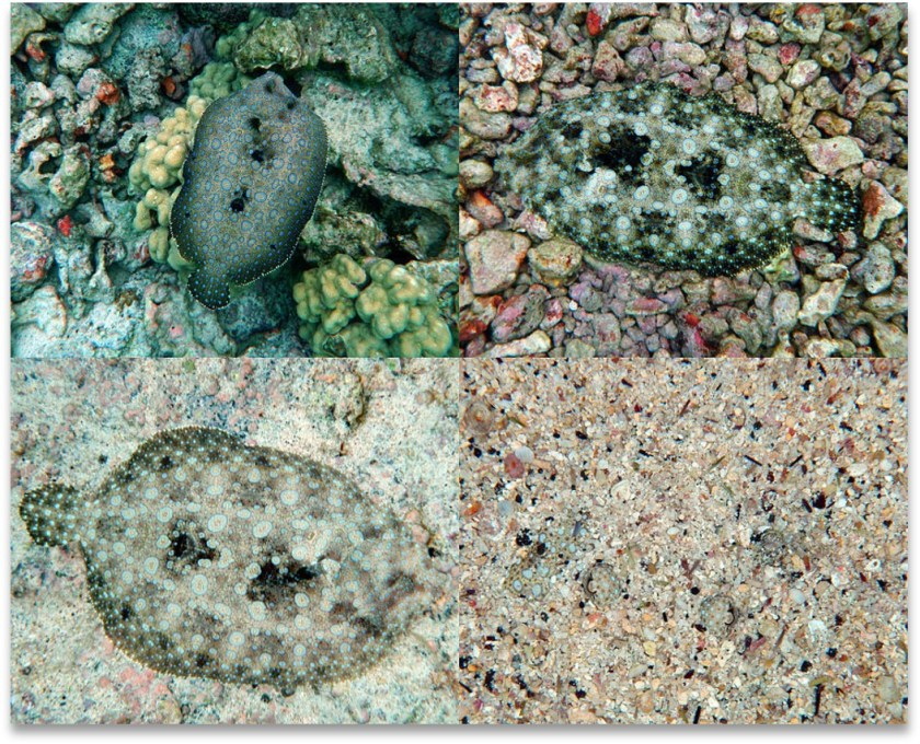Four stages of assuming background camouflage by a living creature.