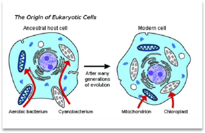 The origin of Eukaryotic Cells, showing a diagram of the ancestral host cell with aerobic bacterium and cyanobacterium separate but moving into the ancestral cell, and, after many generations, with mitochondrion and chloroplast full integrated into the modern cell