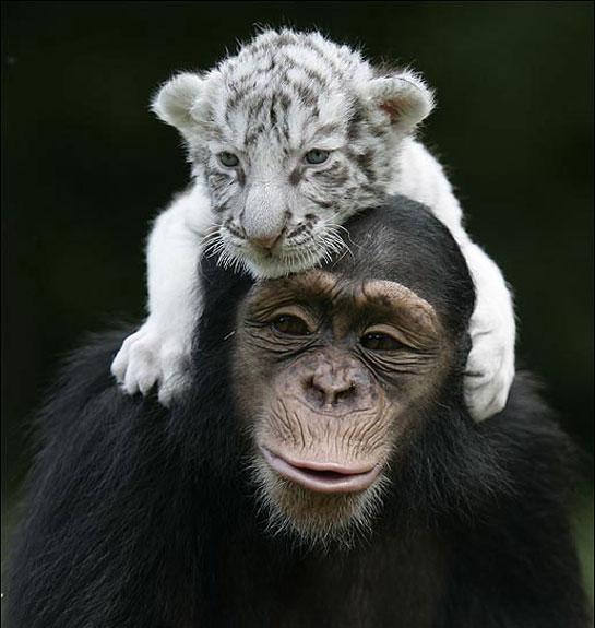 chimptigerfriends.jpg