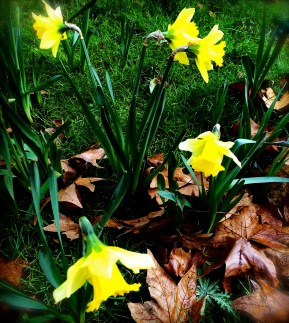 January Daffs in Tavistock Square
