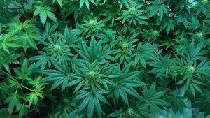Get Together for Medical Marijuana - ChangingAging
