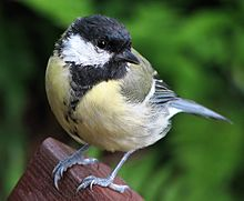great_tit_parus_major_1