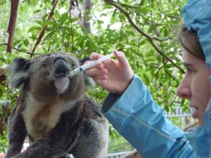 Koala hospital, Port Macquarie.