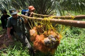 large orangutan rescue