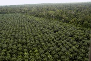 palm oil oil-palm-plantation-vl