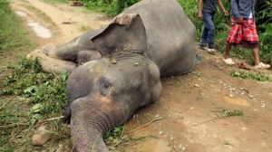 Sumatran-elephant-004