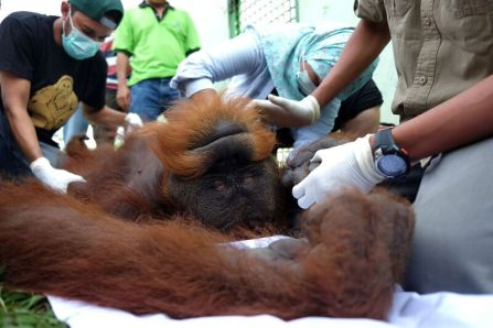 Pongky is tranquilised at Medan Zoo by OIC's vet