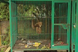 gibbon aceh OIC