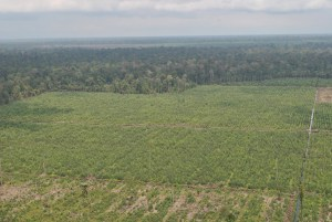 Large scape Acacia pulp wood plantations are developed on drained peatland of Sumatra © Reza Lubis