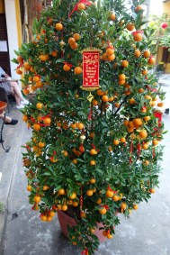 Massive mandarin tree for tet.