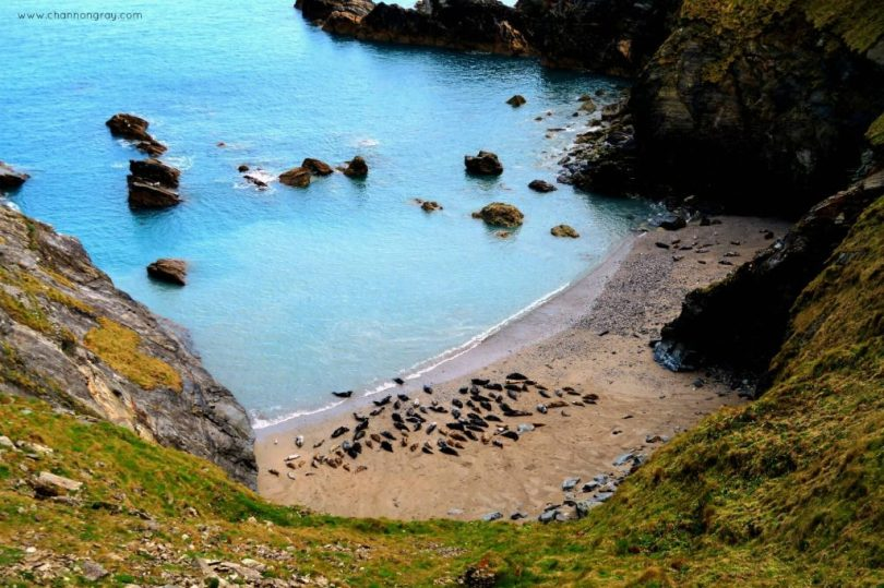 The Seals Godrevy, Cornwall