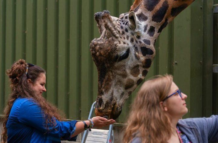 Paignton Zoo Giraffe Experience