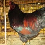BV LF partridge - Rennolet cockerel