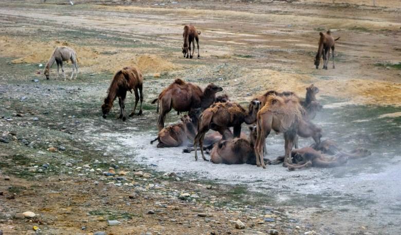 打滚的野骆驼