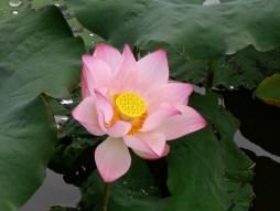 莲花,溆浦