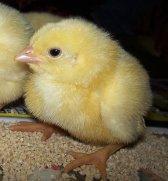 Little_chicken_by_loozak84