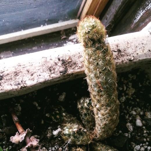 Dick-Cactus