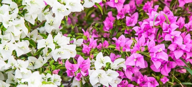 ajijic flora