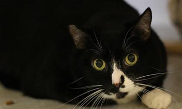 Adopt Willie:  A Senior Cat