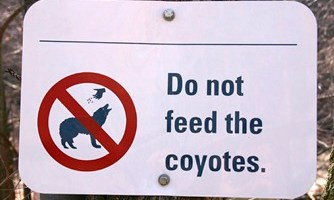 Numerous Coyote Sightings in Carrboro Cause Concern