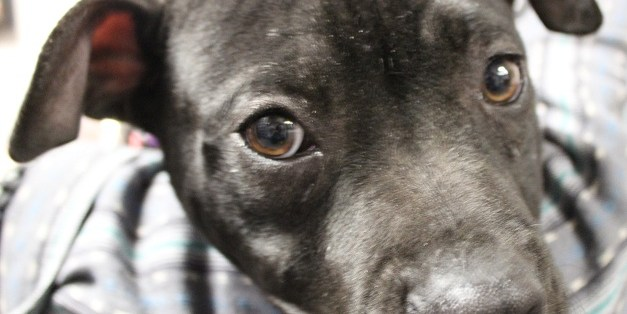 Adopt Orville: An Easygoing Puppy