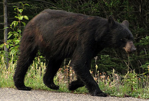 Black Bear Sightings In Hillsborough