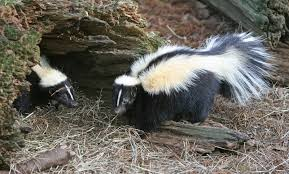 Rabid Skunk Is Orange County's 20th Case This Year