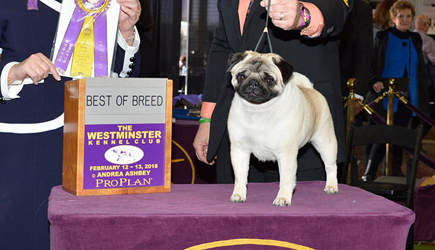 Chapel Hill's Biggie the Pug wins Toy Group at Westminster Dog Show