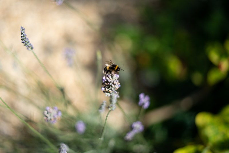 Bee on a lavender flower.