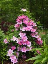 Curcio Garden Clematis