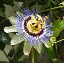 Curcio Garden Passion Flower
