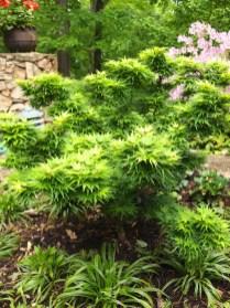 Lazarus Garden Japanese Maple