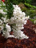 Lovejoy-Henkel Garden Deutsia