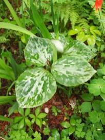 Norwood Garden Trillium
