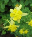 Pringle Garden Yellow Columbine