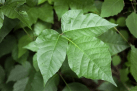 The class three-leaves of poison ivy.